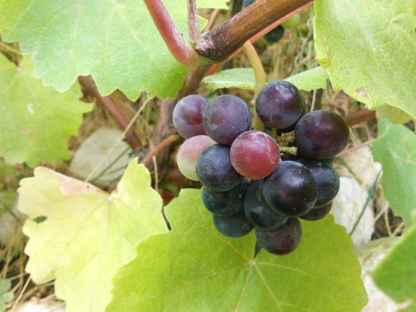 ענבים ראשונים מהגפן שננטעה לפני שנה