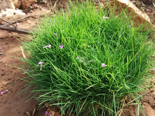 דשא יפני עם פרחי ורבנה