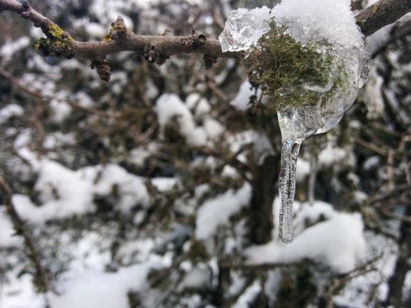 חזזית מטפטפת קרח